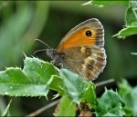 Gate Keeper Butterfly