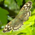 Speckled Wood 21st May 2012