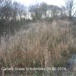 Canary Reed Grass in bramble 09-02-2014